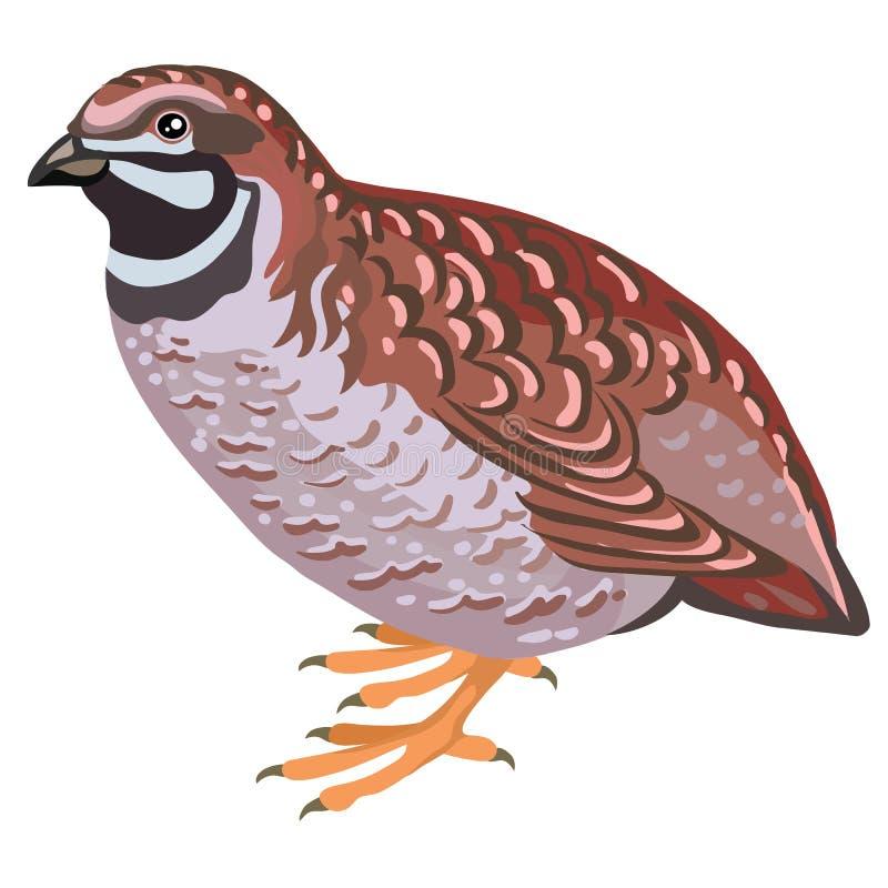 flying quail clip art - Clip Art Library