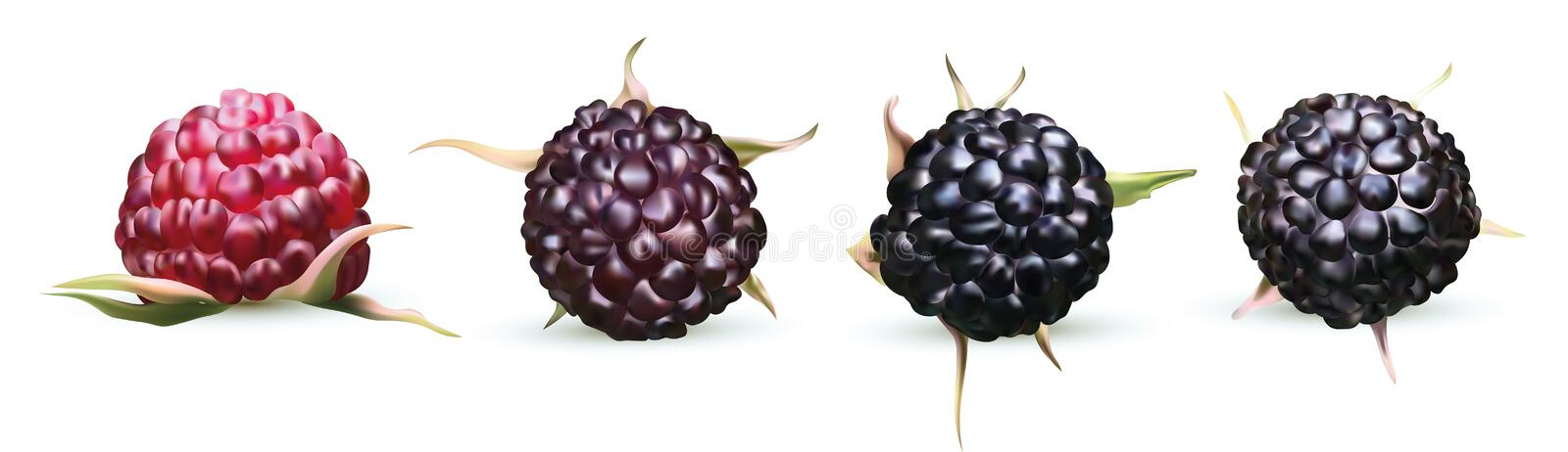 Vector illustration of blackberry isolated on white background. Collection ripe black raspberry. Summers, fresh berry. Close up. 3D realistic illustration royalty free illustration