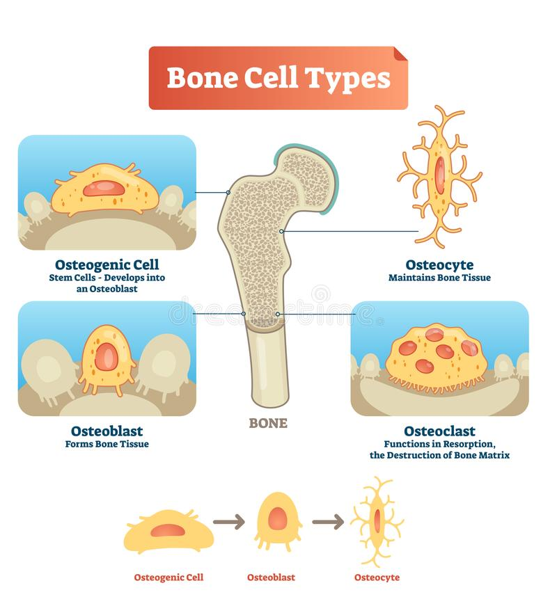 Vector illustration bone cell types diagram. Scheme of osteogenic cell, osteoblast, osteocyte. Medical visualization of stem cells vector illustration
