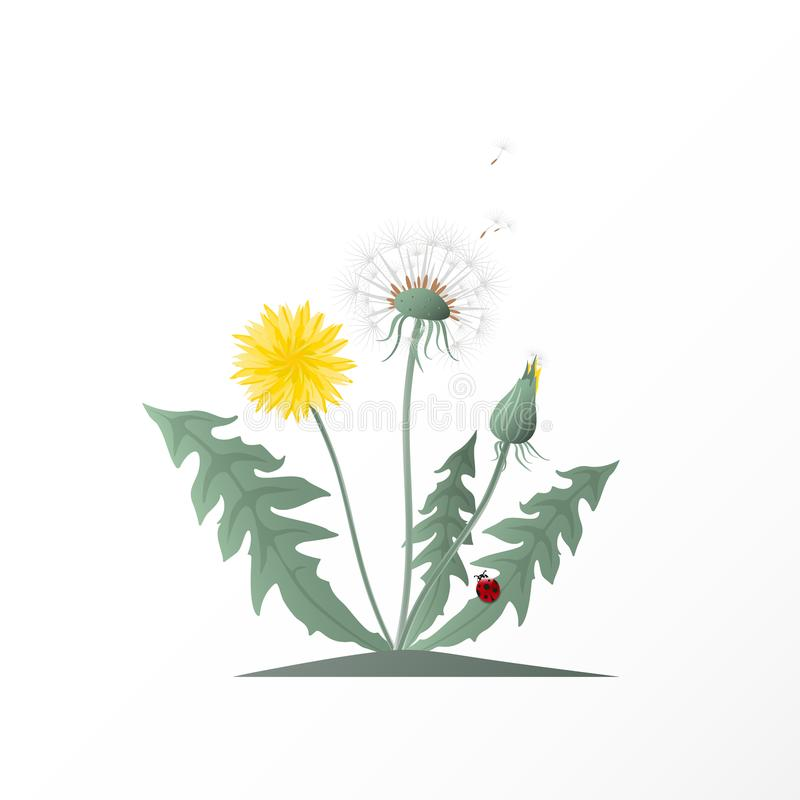Vector illustration dandelions with seed head, green leaves, yellow flower and red ladybug. Summer or spring wild field flower on vector illustration