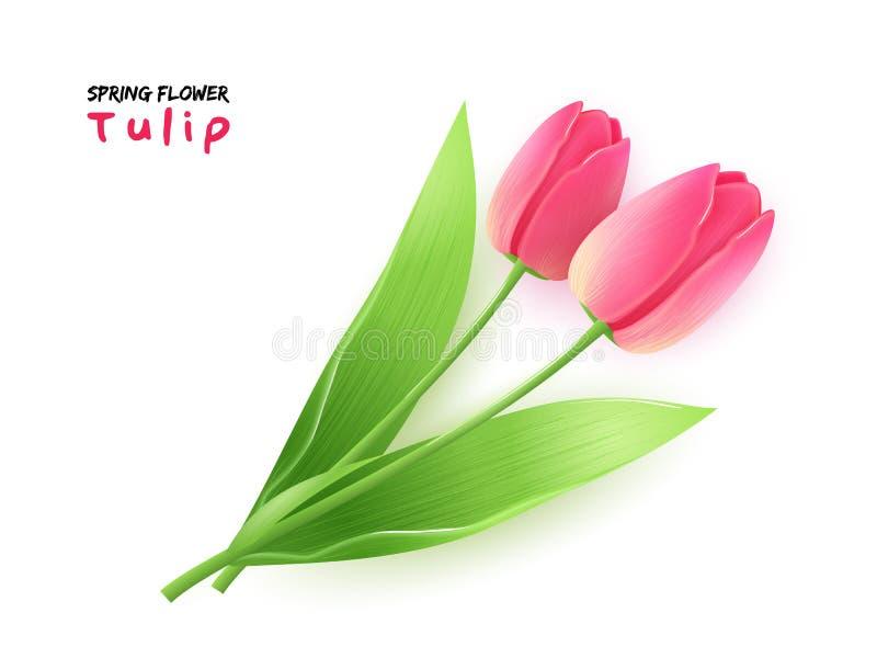 Vector Illustration der blühenden Tulpenblume des realistischen Frühlinges mit Blättern stock abbildung