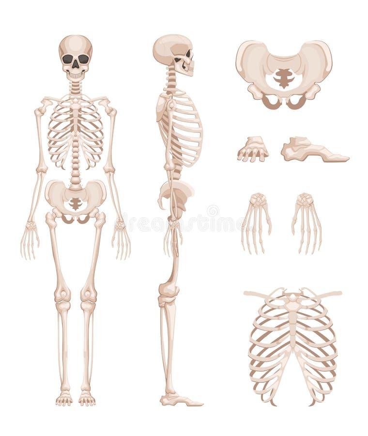 Vector Illustration des menschlichen Skeletts in den verschiedenen Seiten Knochen von Armen, Beine schädel vektor abbildung
