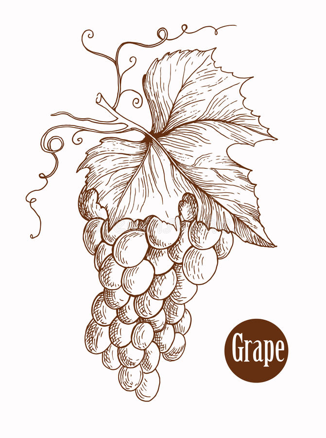 Vector illustration of engraving grapes on the branch handmade. Vector illustration of engraving grapes on the branch on white background vector illustration