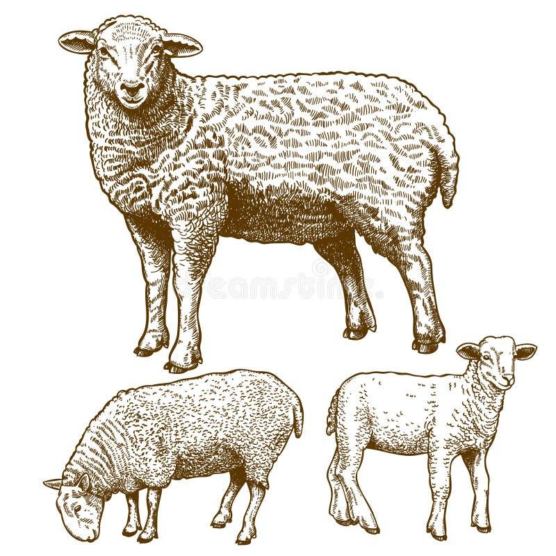 Vector illustration of engraving three sheep stock illustration