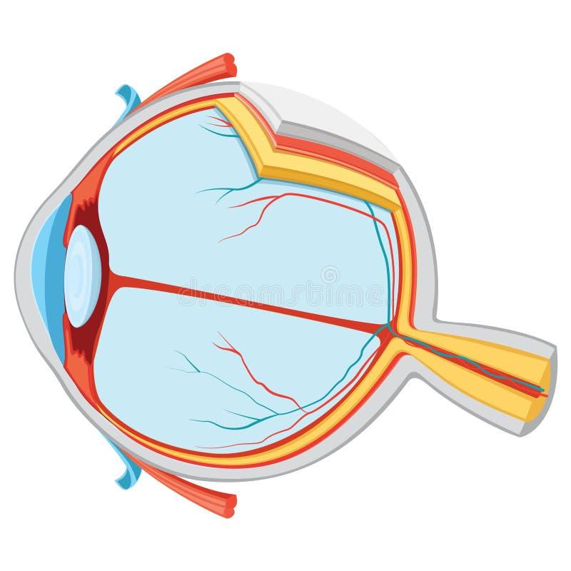 Vector Illustration Of Eye Anatomy stock illustration
