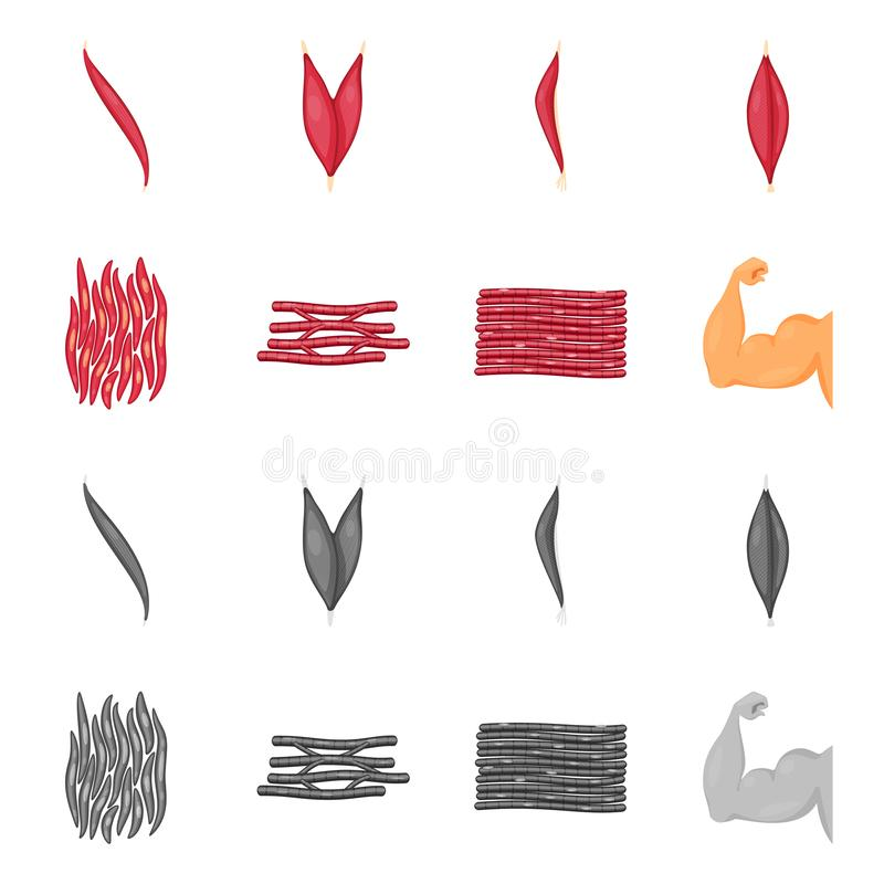 Vector design of fiber and muscular logo. Collection of fiber and body  vector icon for stock. Vector illustration of fiber and muscular icon. Set of fiber and vector illustration