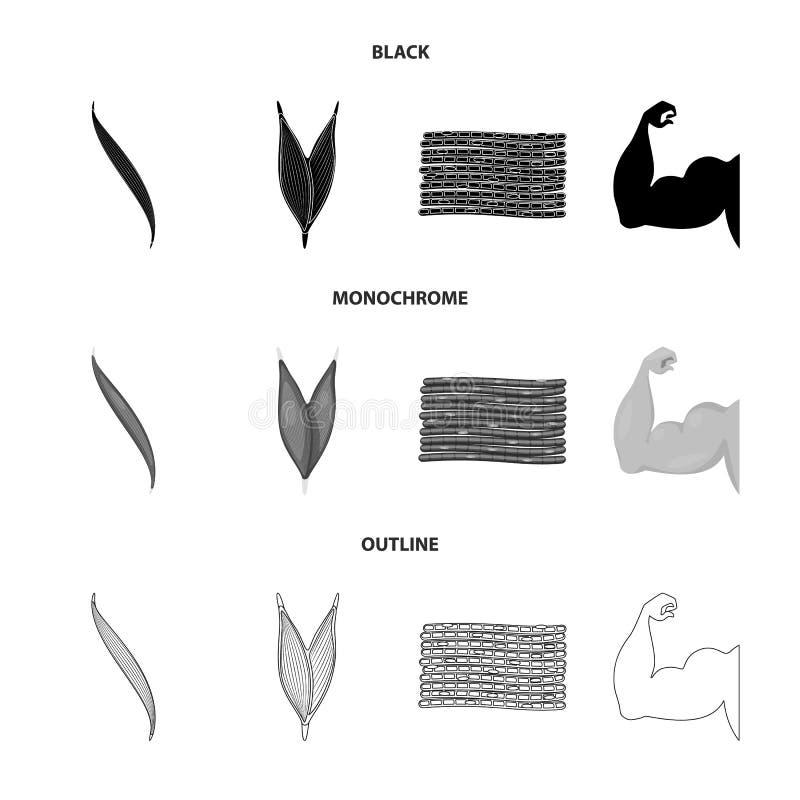 Vector design of fiber and muscular sign. Set of fiber and body  vector icon for stock. Vector illustration of fiber and muscular logo. Collection of fiber and stock illustration
