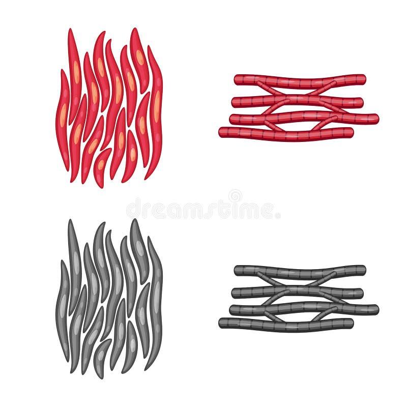 Vector illustration of fiber and muscular logo. Collection of fiber and body vector icon for stock. Isolated object of fiber and muscular icon. Set of fiber and royalty free illustration