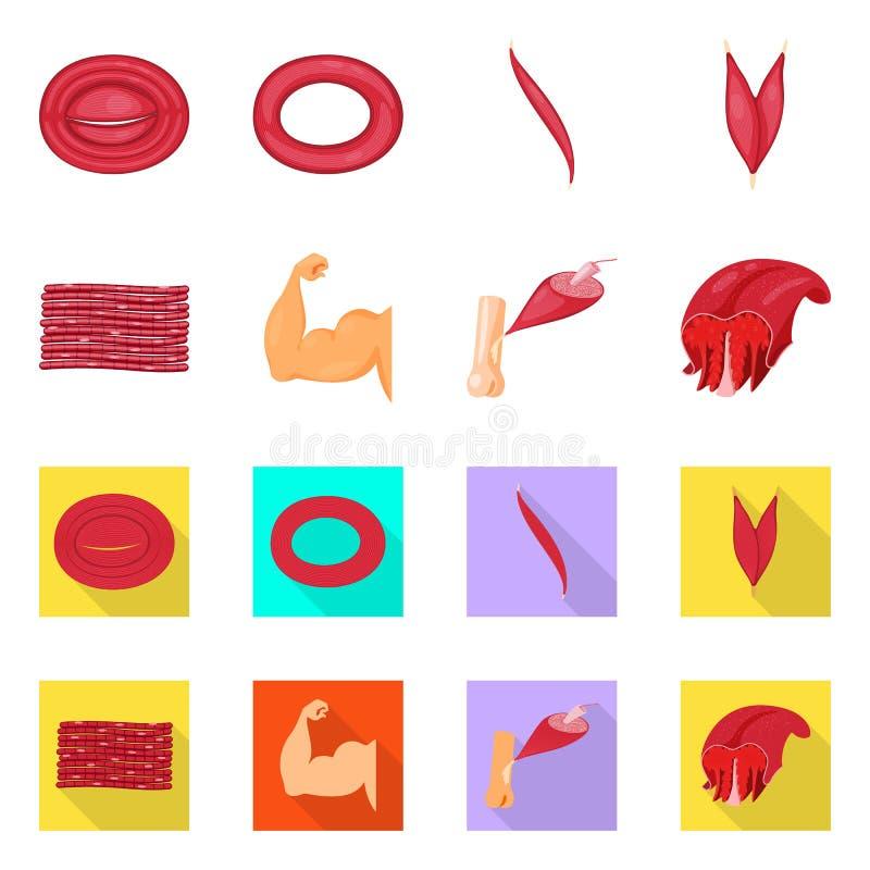 Vector illustration of fiber and muscular logo. Set of fiber and body  stock vector illustration. Isolated object of fiber and muscular icon. Collection of stock illustration