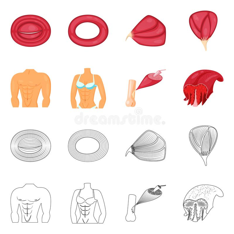 Vector illustration of fiber and muscular sign. Collection of fiber and body  stock vector illustration. Isolated object of fiber and muscular logo. Set of vector illustration
