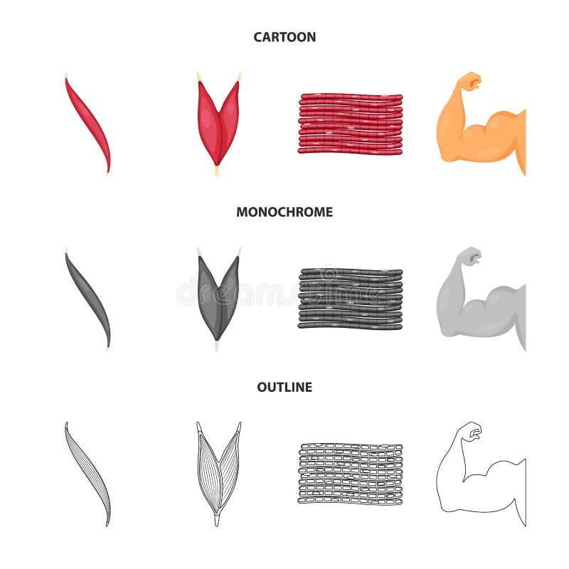 Vector illustration of fiber and muscular symbol. Collection of fiber and body  stock symbol for web. Isolated object of fiber and muscular sign. Set of fiber vector illustration