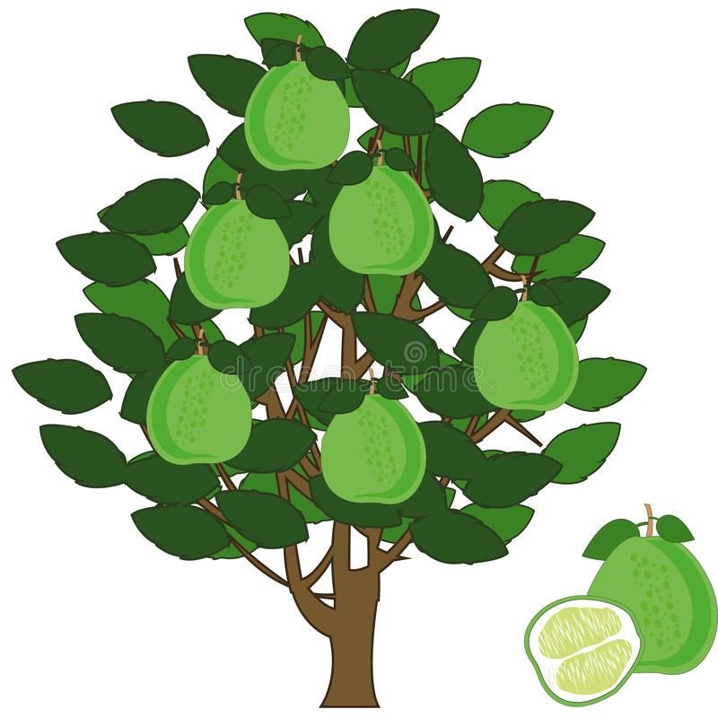 Vector illustration fruit tree with exotic fruit pomelo. Tree with fruit pomelo on white background is insulated royalty free illustration