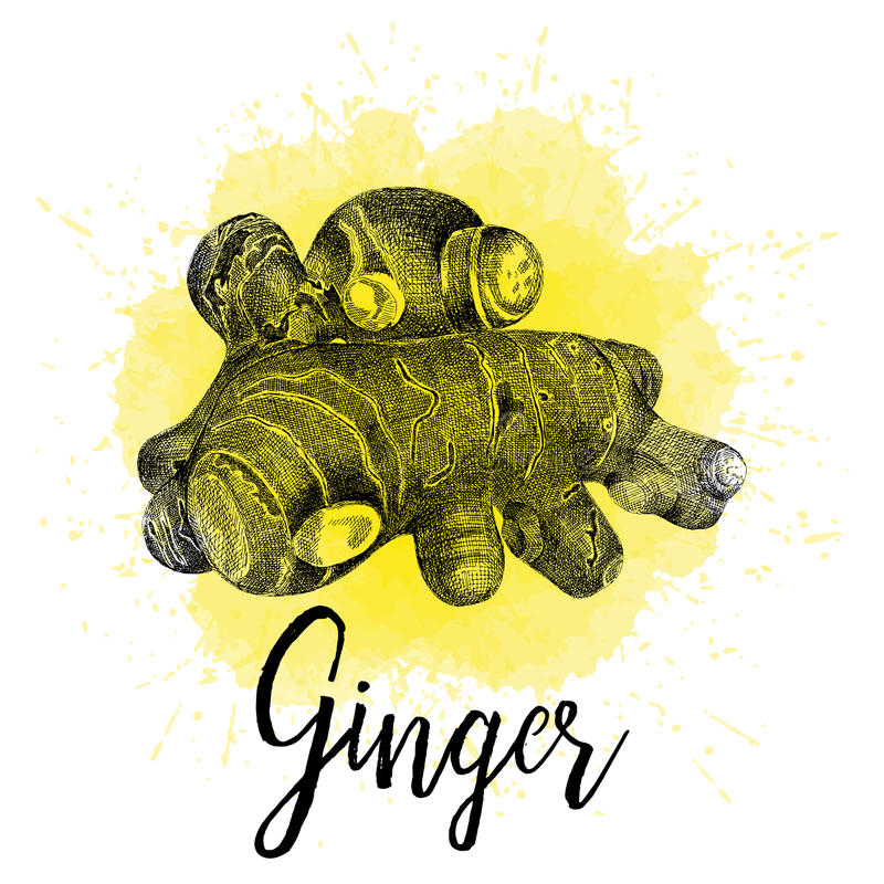 Vector illustration, ginger in hand drawn graphics stock illustration