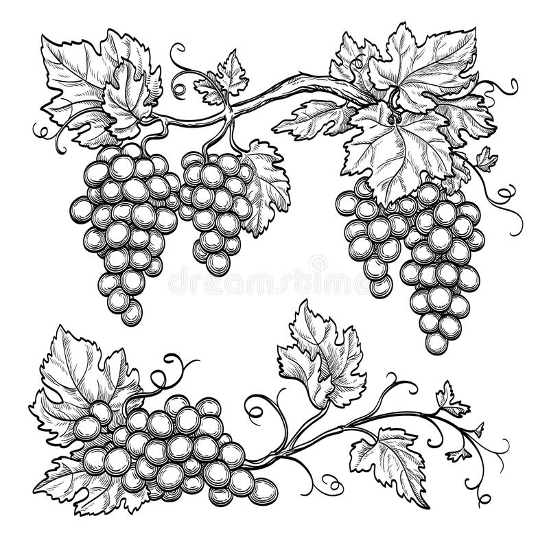 Free Vector Illustration Grape Branches Royalty Free Stock Photo - 77238975