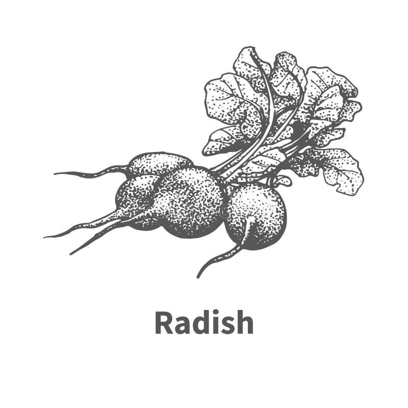 Vector illustration hand-drawn radish royalty free illustration