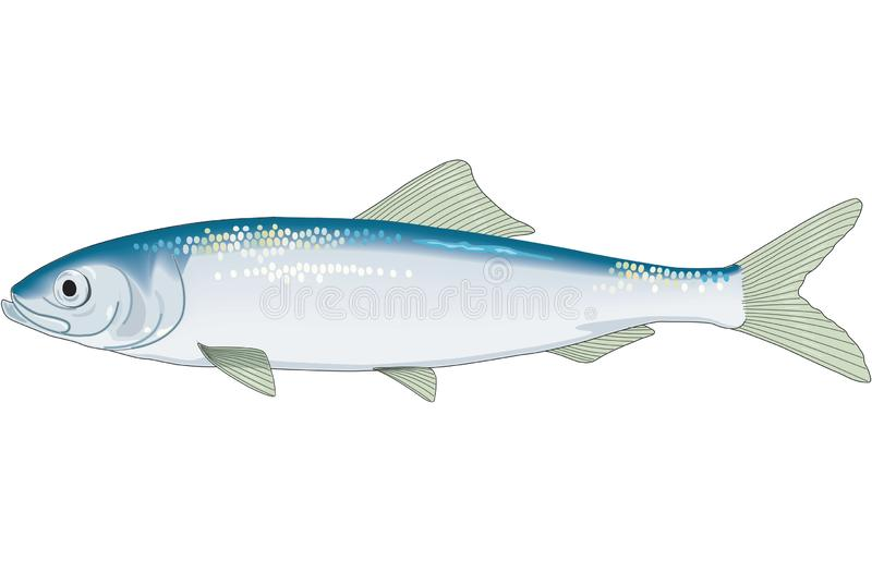 Herring Illustration. A vector illustration of a herring stock illustration