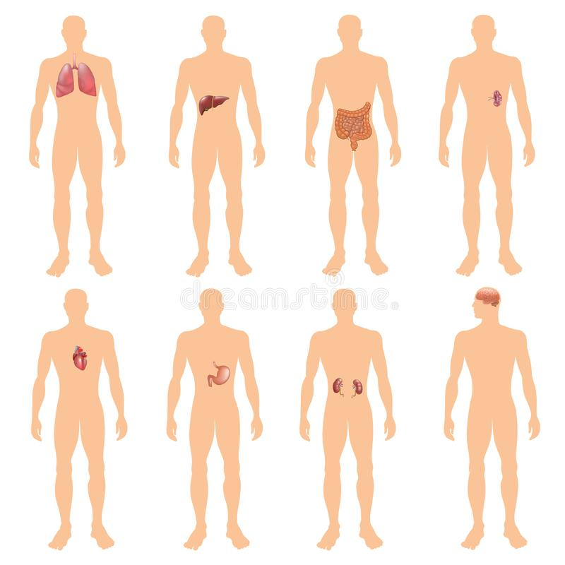 8 human body organ systems realistic educative anatomy physiology front back view flashcards poster vector illustration stock illustration
