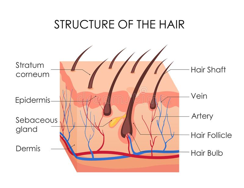 Vector illustration of human hair diagram. Piece of human skin and all structure of hair on the white background vector illustration