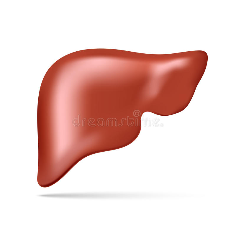 Vector illustration of human liver royalty free stock photography