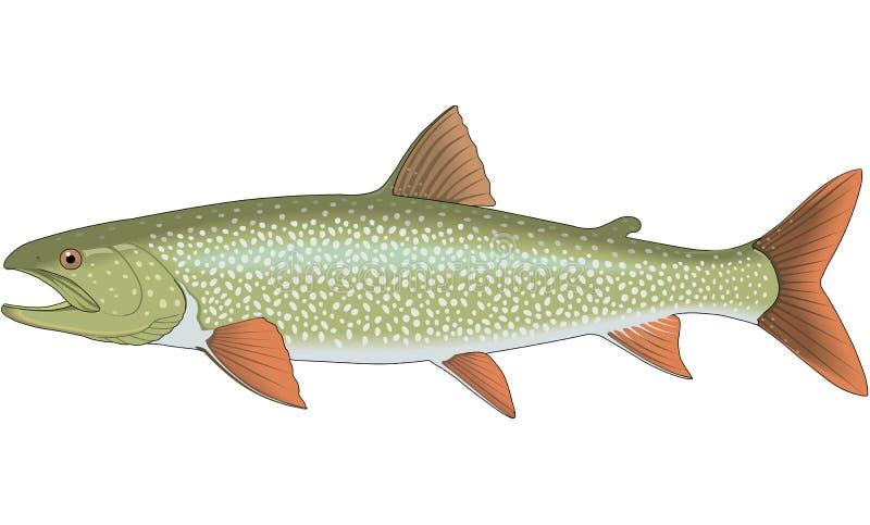 Lake Trout Illustration. A vector illustration of a lake trout stock illustration