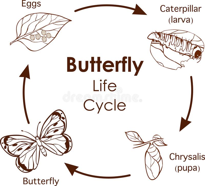 Vector illustration of Life Cycle of Butterfly diagram stock photos