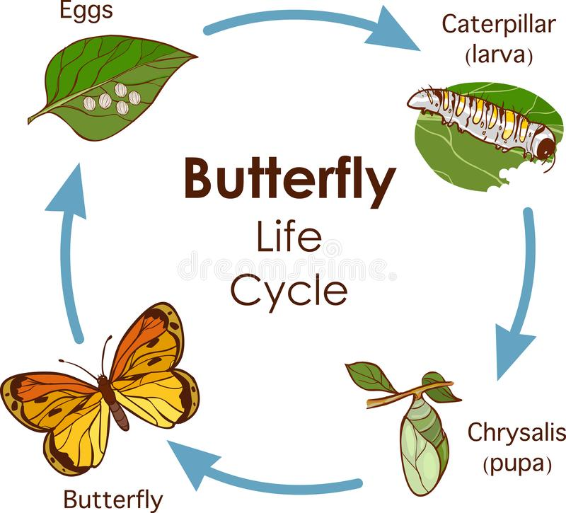 Vector illustration of Life Cycle of Butterfly diagram royalty free stock image