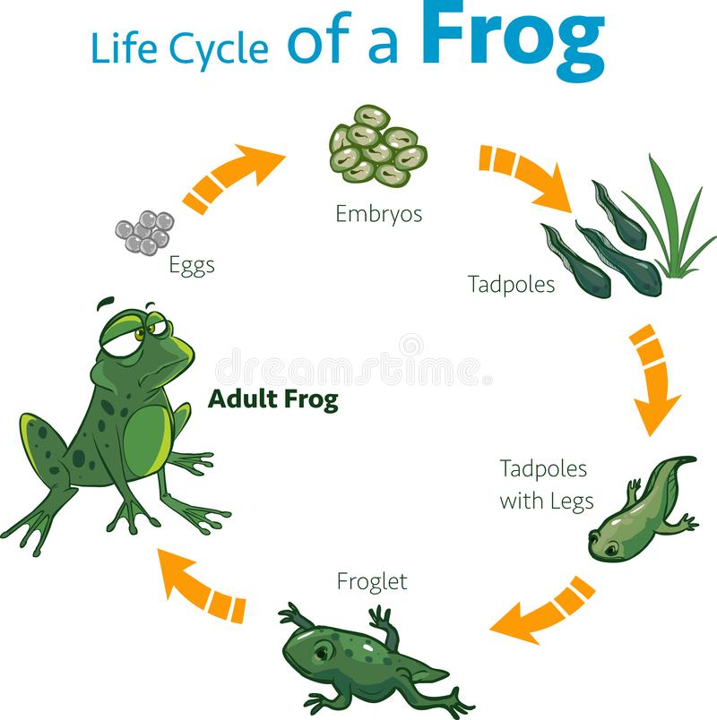 Vector illustration of a life cycle of a frog.  stock illustration