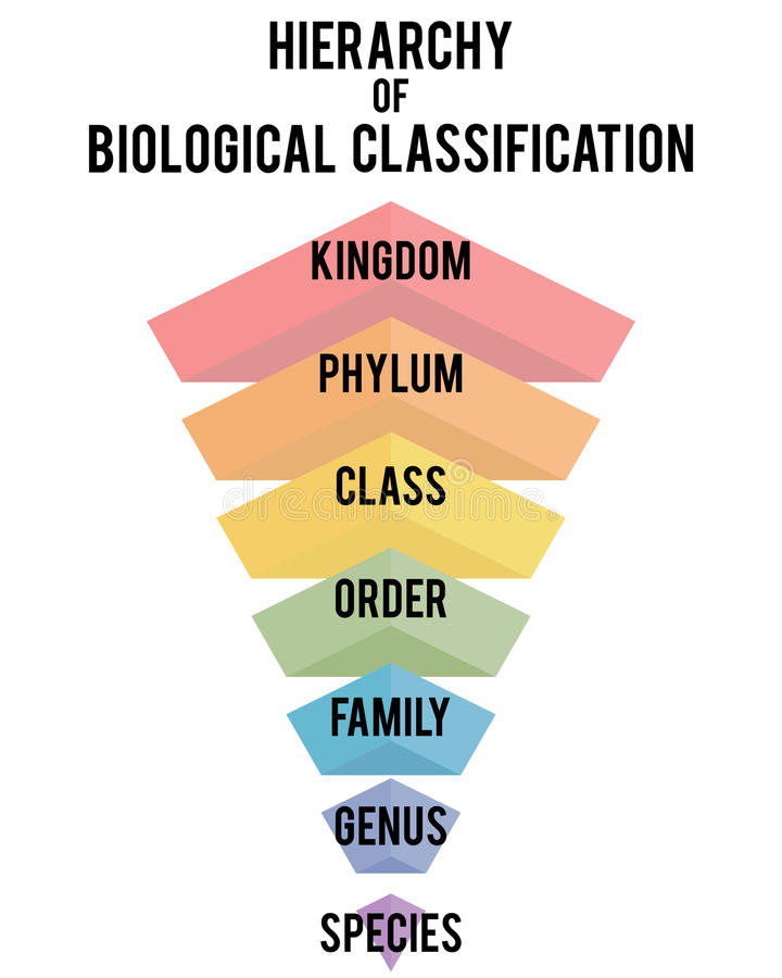 Vector illustration with major taxonomic ranks. Hierarchy of biological classification. Major taxonomic ranks. Classification system by Carl Linnaeus stock illustration