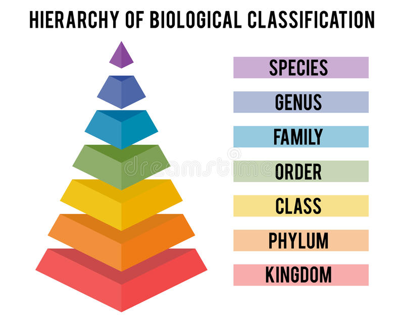 Vector illustration with major taxonomic ranks. Hierarchy of biological classification. Major taxonomic ranks. Classification system by Carl Linnaeus vector illustration