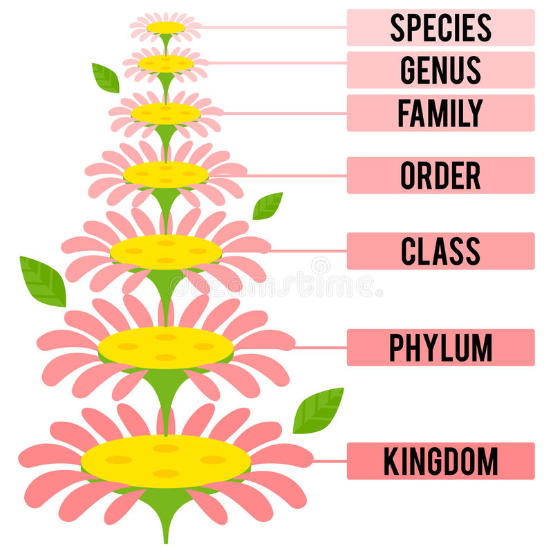 Vector illustration with major taxonomic ranks of the Plant Kingdom. Classification system by Carl Linnaeus royalty free illustration