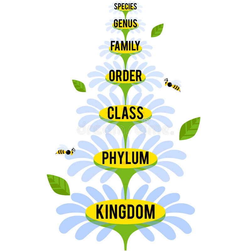 Vector illustration with major taxonomic ranks of the Plant Kingdom. Classification system by Carl Linnaeus stock illustration