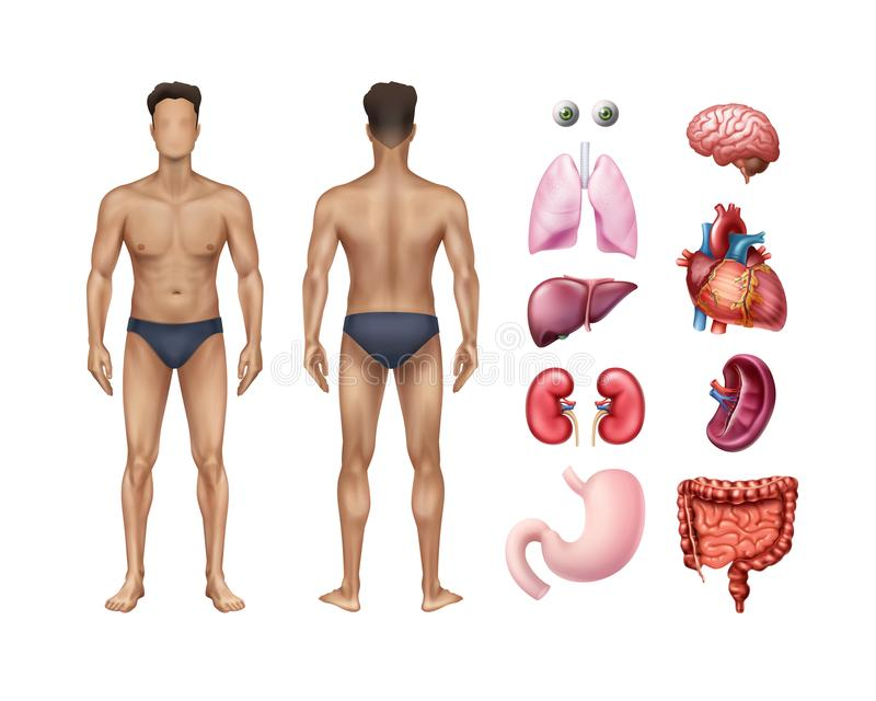 Vector illustration of male body template front and back with human internal organs detailed icons set on background royalty free illustration