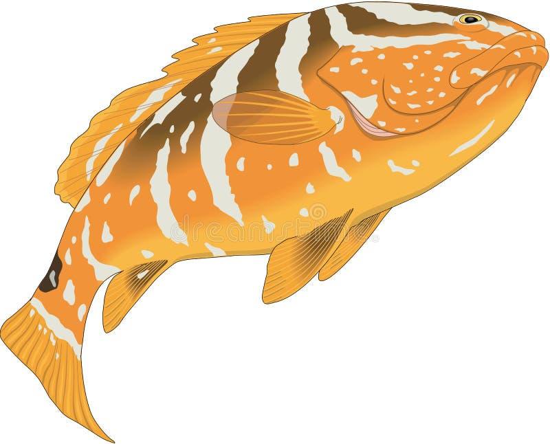 Nassau Grouper Illustration. A vector illustration of a Nassau grouper stock illustration