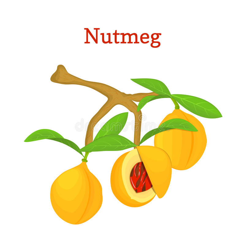 Vector illustration of a nutmeg. Branch tree with three yellow fruits and green leaves on white background. it can be. Vector illustration of a nutmeg. Branch vector illustration