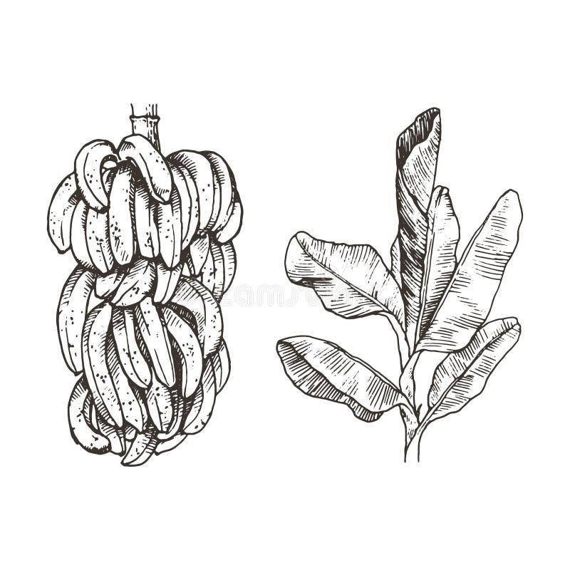 Vector Illustration of palm tree and banana fruit sketch for design, website, background, banner. Hand Drawing floral on vector illustration