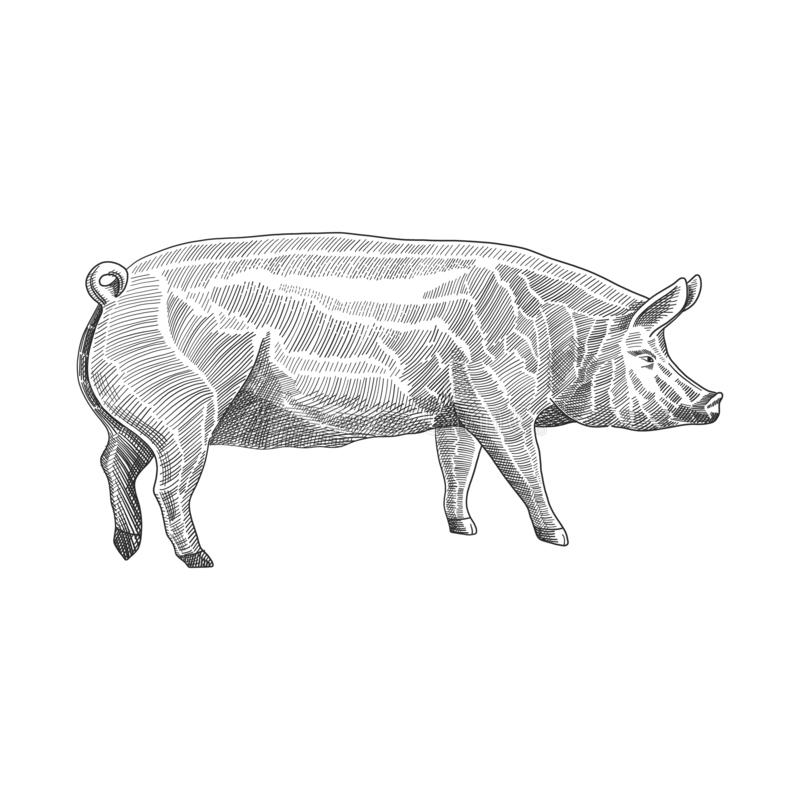 Vector illustration of pig in hand drawn graphic style, black and white engraving drawing illustration royalty free illustration