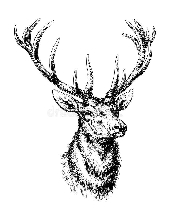 Download Deer stock vector. Illustration of animal, outdoors, horn - 30136198