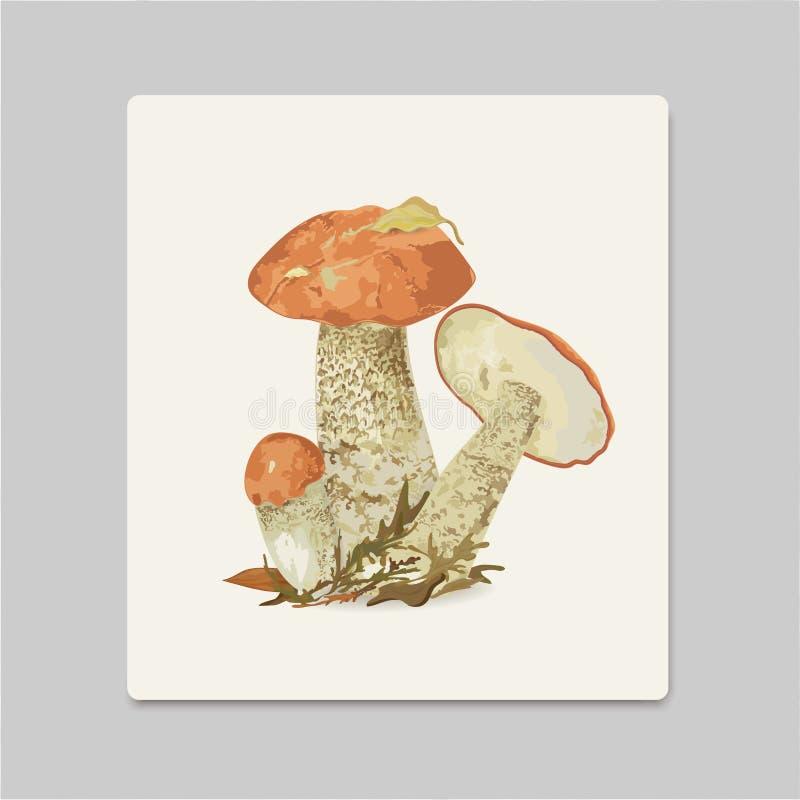 Vector illustration of red edible aspen mushrooms. Vector vector illustration