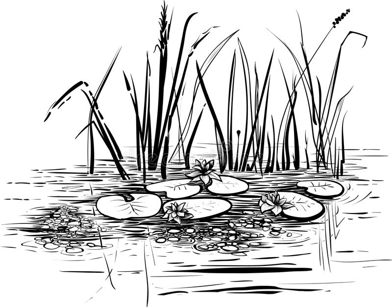 Vector Illustration With Reed And Water Lilies In The Pond ...
