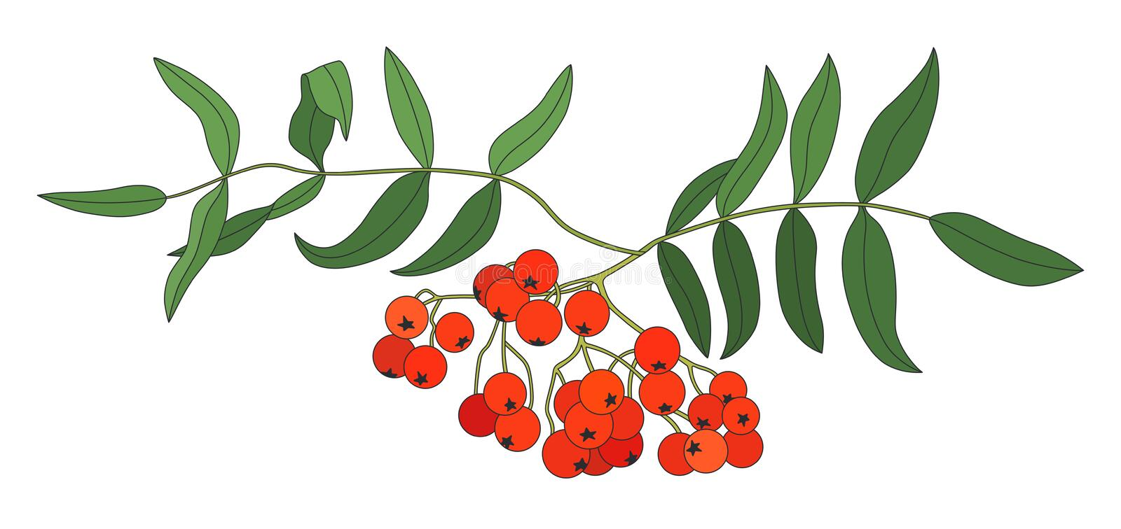 Vector illustration of rowan branch in color. Isolated on white background. Can be used for graphic design, textile design or web design vector illustration