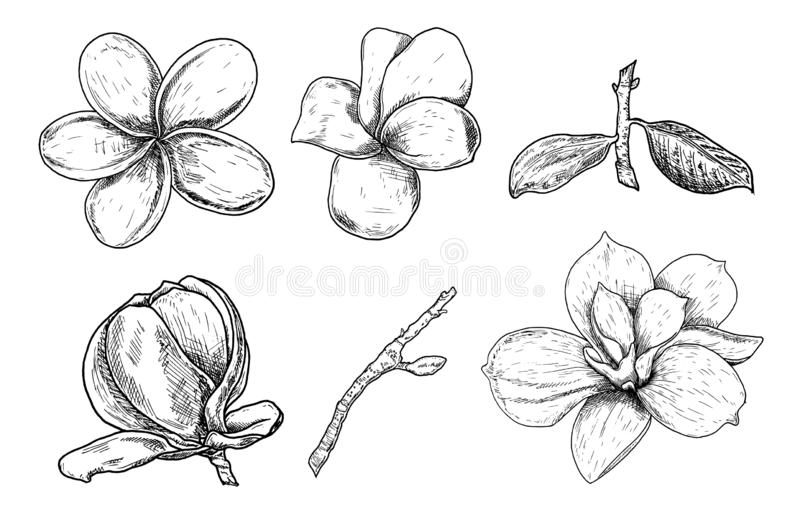 Vector Illustration set of beautiful magnolia and plumeria, drawing spring flowers isolated on white background. Sketch hand drawn royalty free illustration