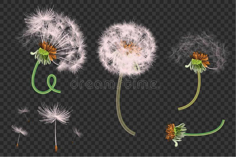 Vector illustration of spring dandelions on transparent background. Dandelion seeds blowing from stem. stock illustration