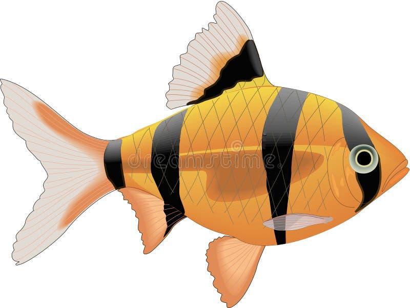 Tiger Barb Illustration. A vector illustration of a tiger barb vector illustration
