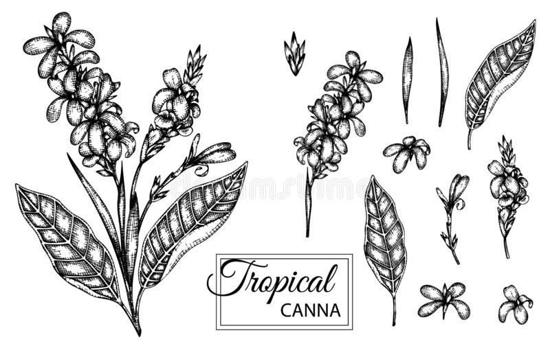 Vector illustration of tropical flower isolated on white background. Hand drawn canna. Floral graphic black and white illustration. Tropic design elements royalty free illustration