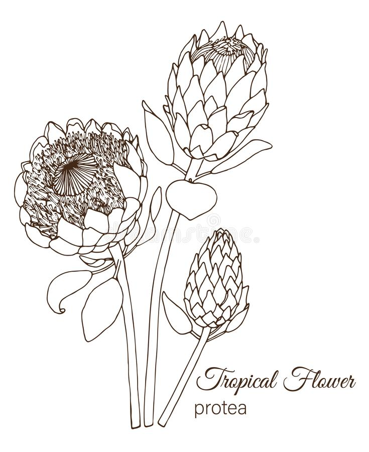 Vector illustration of tropical flower isolated on white background royalty free illustration