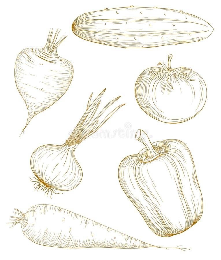 Vector illustration vegetables. Vector illustration vegetables in vintage engraving style royalty free illustration
