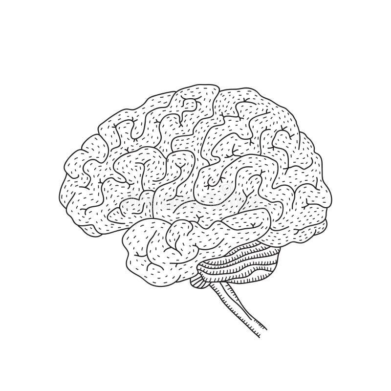 Vector a ilustração do cérebro humano isolada no fundo branco ilustração do vetor
