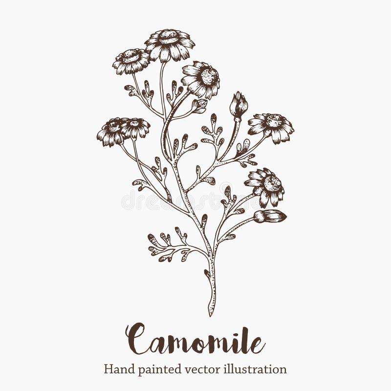 Vector a ilustração do esboço da flor da camomila no fundo branco Mão da natureza tirada ilustração royalty free