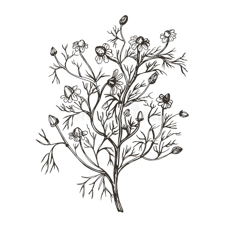 Vector image of camomile pharmacy. Illustration in vintage style. royalty free illustration