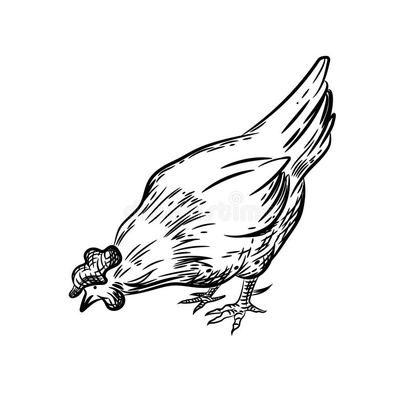 Vector image of a hen. Agricultural illustration. Domestic bird. royalty free illustration